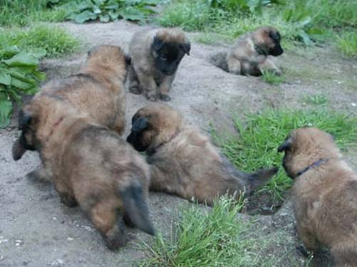P litter puppies 19102013sml.jpg