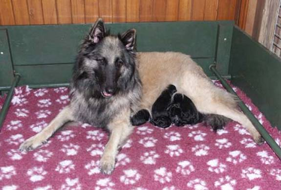 Zara and her puppies 20102013.jpg